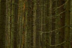 Ciemny dziki gęsty iglasty las od bagażników i gałąź jedlinowi drzewa obraz stock