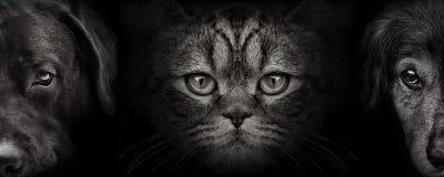 Ciemny kagana labrador i spaniela pies i kot Szkocki zbliżenie f zdjęcia stock