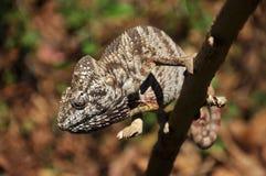 Ciemny kameleon Zdjęcie Stock