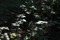 ciemny las Zdjęcie Royalty Free