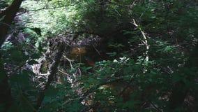 Ciemny las w głębiach ulistnienie i halny strumień zdjęcie wideo