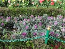 Ciemny purpurowy colour kwiat przy hindusa ogródem patrzeje piękny zdjęcie stock