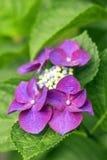 Ciemny purpurowy hortensja kwiat Zdjęcie Stock