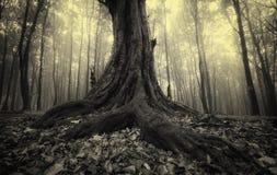Ciemny stary drzewo z dużymi korzeniami na Halloween Zdjęcia Royalty Free