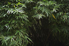 Ciemny Tropikalny dżungla bambusa tło Zdjęcia Stock