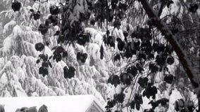 Ciemnych madrona drzewnych kontrastów jaskrawy śnieżny spadek nad jata dachem zbiory