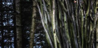 Ciency drzewa na tle sosna Obraz Royalty Free