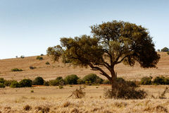 Cienia drzewo w polu Zdjęcia Royalty Free