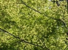 Cienie liście klonowi w kompleksie W świątynia Zdjęcie Royalty Free