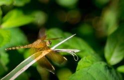 Cienie zielony dragonfly fotografia royalty free