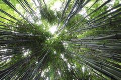 Cienieje zielonego wysokiego zbieżnego bambusa Fotografia Stock