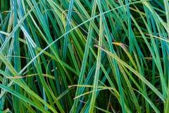 Cienka ostra zielonej trawy ostrzy tekstura makro- obraz stock