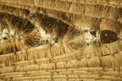Cienka sekcja Nummulite wapień pod mikroskopem Zdjęcia Royalty Free