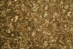 Cienka sekcja wapień pod mikroskopem Obraz Royalty Free