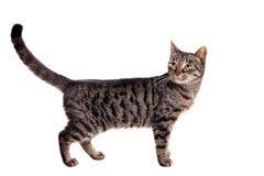 Cienki dorosły tabby kot obraz stock