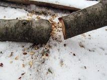 Cienki drzewo piłujący dwa części kłama na śniegu przy wierzchołkiem fotografia fotografia royalty free