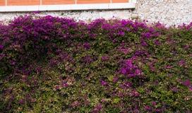 Ściennego nakrycia purpur kwiaty Obrazy Royalty Free