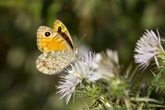 Ścienny motyl na osetu kwiacie Obrazy Stock