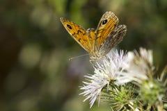 Ścienny motyl na osetu kwiacie Fotografia Stock