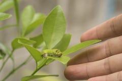 Científico de la biotecnología con el gusano en la naranja de la hoja para examinar imagen de archivo