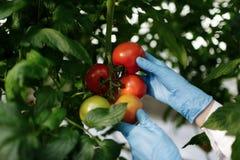 Científico de la comida que muestra los tomates en invernadero Fotos de archivo libres de regalías