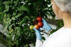 Científico de la comida que muestra los tomates en invernadero Foto de archivo