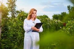 Científico de la mujer que trabaja en jardín de la fruta El inspector del biólogo examina arbustos de zarzamora fotos de archivo