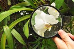 Científico que estudia la planta de la orquídea Fotografía de archivo