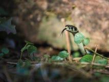 Ciente! Serpente de grama que cheira com sua língua foto de stock royalty free