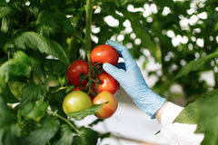 Cientista do alimento que mostra tomates na estufa Fotografia de Stock
