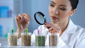 Cientista fêmea que olha a grão da ervilha através da lupa, inspeção de alimento imagens de stock