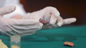 Cientista ou arqueólogo que guardam pedras ou minerais nas mãos Povos com as amostras de arqueologia nas mãos de Imagem de Stock