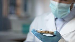 Cientista que olha grões do trigo no prato do laboratório, analisando a qualidade da colheita imagem de stock