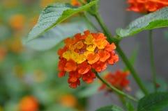 Cientos flores de la guayaba Imágenes de archivo libres de regalías