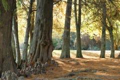 Ciepła jesień Colours kolory brzmienia Dominują w Jawnym parku w Cambridge nowy Zealand NZ Zdjęcie Stock