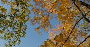 Ciepły jesieni słońca jaśnienie przez kolorowych ulistnień treetops na pięknym słonecznym dniu zdjęcie wideo