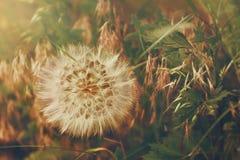 Ciepły Dandelion Obraz Royalty Free