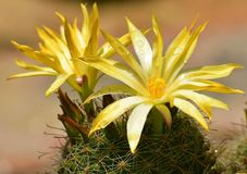 Cierń i kwiat fotografia royalty free