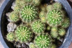 Cierń kaktus Zdjęcie Stock