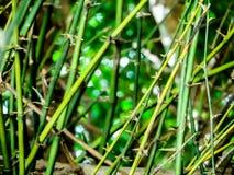 cierń zielony bambus w lato sezonie Fotografia Royalty Free
