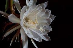 Cierge de floraison de nuit Image libre de droits