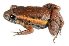 cierkania lasu żaba Obrazy Royalty Free