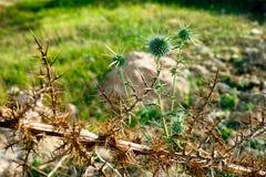 Cierniowa roślina w łące fotografia royalty free