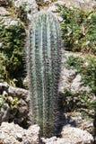 Cierniowata kaktusowa roślina Obrazy Royalty Free