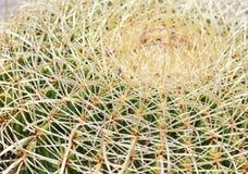 Cierniowata kaktusowa roślina Obraz Royalty Free