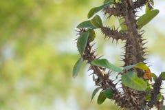 cierniowatej rośliny zamazany tło fotografia royalty free