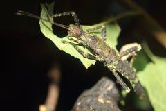 Cierniowaty czarci kija insekt obraz stock