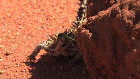 Cierniowaty diabeł za skałą w odludziu Australia zbiory