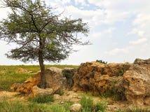 Cierniowaty drzewny dorośnięcie od fieldstone wypusta zdjęcie stock