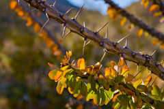 Cierniowaty krzak Fotografia Royalty Free